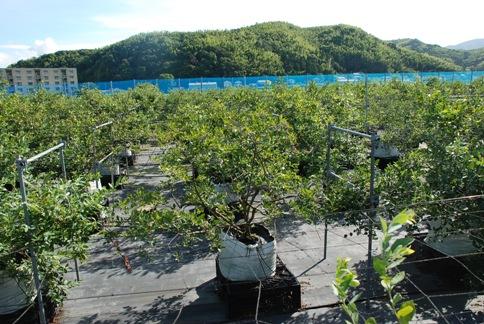 産地直送!徳島県ファースト園芸さんのブルーベリー畑