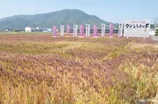 ダイシモチ麦畑