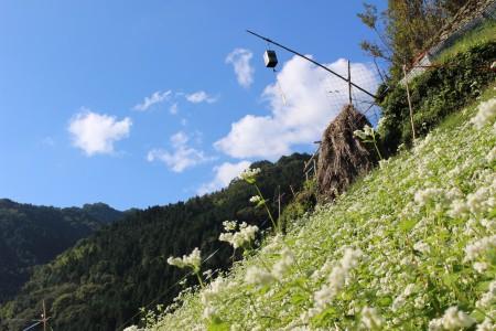 急傾斜地でのそばの花